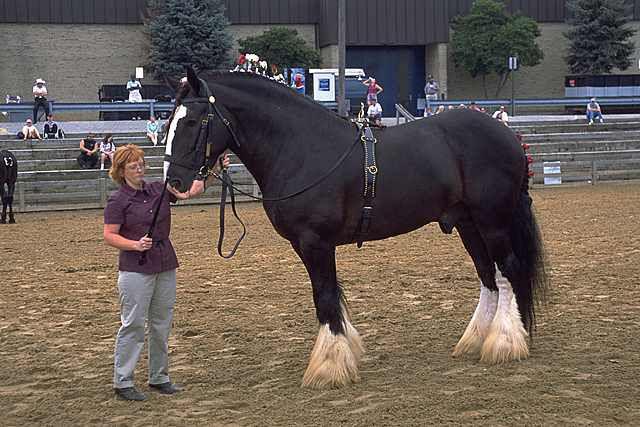 chevalblog c le plus grand cheval du monde. Black Bedroom Furniture Sets. Home Design Ideas